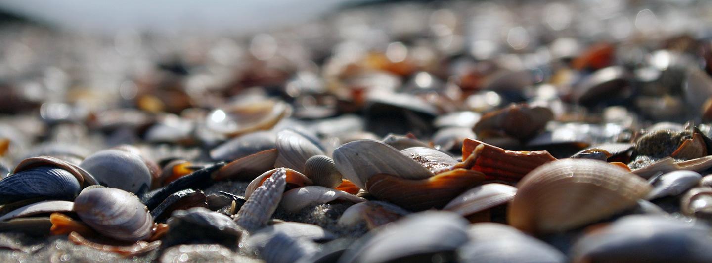 Eine Nahaufnahme unterschiedlicher Muscheln am Strand.